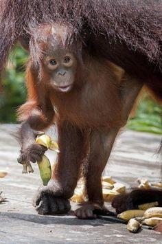 Baby orangutan enjoying a banana from the safety of mom's shadow.
