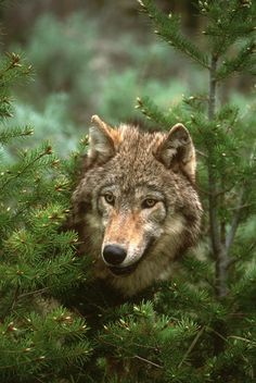 Timber Wolf, North America by Tom Vezo