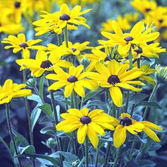"The bright-gold flowers of Black-eyed Susans (Rudbeckia fulgida)stay in bloom more than a month beginning in August. Popular varieties include ""Indian Summer"" (shown here) and ""Goldstrum."" The spiky seed heads offer winter interest and bird food. Grow these no-maintenance beauties in full sun, and expect them to reach 3 feet tall and 2 feet wide."
