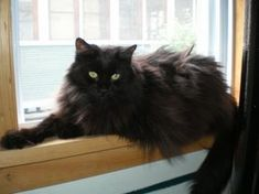 black cat named missy posted by black cat rescue here Fluffy Black Cats Fluffy Black Cat, Fluffy Cat, Black Cats, Pretty Cats, Beautiful Cats, Long Hair Cat Breeds, Black Cat Aesthetic, Long Haired Cats, Norwegian Forest Cat