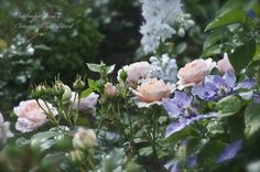 Lavender, light purple, and white flowers. Clematis and roses - a lovely combination/Pia