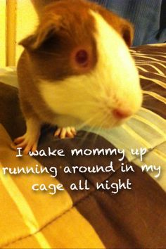 guinea pig, totally sounds like my pigs!