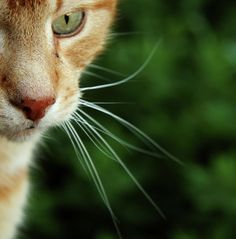 Ginger Cat......love this close-up shot.  Maybe next time, a full face view !