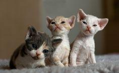 Best 20 Devon Rex Cat Pictures Kittens Photo And Kitty Images Gatos Devon Rex, Devon Rex Kittens, Cute Kittens, Cats And Kittens, Funny Kitties, Funny Pets, Gato Cornish Rex, Newborn Kittens, Pet Paws