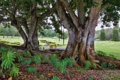 Trees of Lanai Hawaii