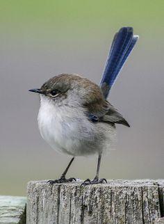 fairy wren - Google Search Tiny Bird, Small Birds, Little Birds, Pet Birds, Tropical Birds, Colorful Birds, Wild Animals Photography, Australian Birds, Bird Drawings