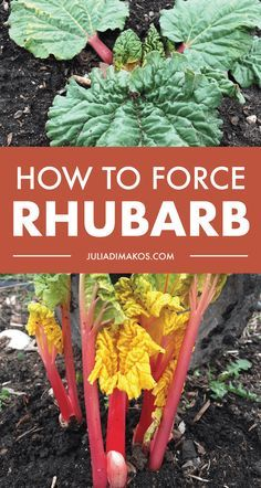 How to Force Rhubarb (Plus Free Recipe) Garden Pests, Herb Garden, Fruit Garden, Garden Insects, Organic Vegetables, Growing Vegetables, Organic Gardening, Gardening Tips, Vegetable Gardening