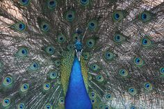Pretty Peacock by photomamia, via Flickr