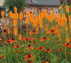 """Kniphofia Popsicle™ Mango Popsicle 20.45  Common Name: Red-Hot Poker, Torch Lily Hardiness Zone: 6-9 S / 6-9 W Height: 12""""+ Exposure: Full Sun Blooms In: June-Sept Spacing: 12-18"""" Ships as: One Quart Pot"""