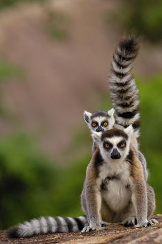 Ring Tail Lemur and baby.  OK. so the guys I work with say that I would be the Lemur on Madagascar....totally ADHD!