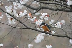 Cherryblossom ! , Kingfisher by Mubi.A