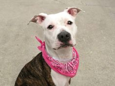 TO BE DESTROYED 4/10/14 Brooklyn Center -P  My name is SHYLA. My Animal ID # is A0994306. I am a spayed female br brindle and white pit bull mix. The shelter thinks I am about 8 MONTHS old.  I came in the shelter as a STRAY on 03/18/2014 from NY 11385, owner surrender reason stated was STRAY. https://www.facebook.com/photo.php?fbid=778057322207149&set=a.611290788883804.1073741851.152876678058553&type=3&theater