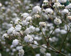 Gypsophila Color Blanco Types Of Flowers, Wild Flowers, Baby's Breath Plant, Makeup Tutorial Eyeliner, Smart Garden, Gypsophila, Garden Seeds, Delphinium, Flower Crafts