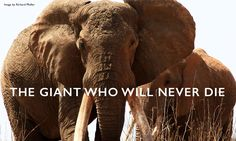 How Satao, Kenya's legendary tusker, is a symbol of hope in the fight against poaching. Ivory Trade, The Loyal, Hope Symbol, Life Form, Gentle Giant, Save The Planet, Animal Rights, Some Pictures, Kenya