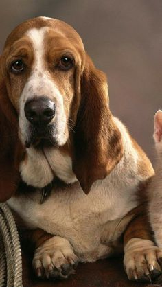 Beautiful Basset