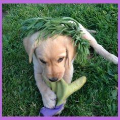 "Baby Ella with her lavender ""green"" head wreath, celebrating May, and her new life on the lavender farm!! #calm#fun#fragrant#puppy#ella #lab #sweetness #hoodriverlavender #lavender #farm #garden#organic#hoodriver #traveloregon #lavenderwreath#greenliving"