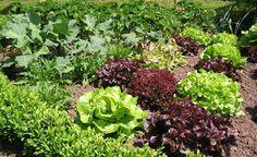 Fruchtfolge im Gemüsegarten - Die Einhaltung der Fruchtfolge spielt beim erfolgreichen Gemüseanbau eine wichtige Rolle. Die Pflanzen werden dadurch optimal mit Nährstoffen versorgt und sind widerstandsfähig gegenüber Schädlingen und Krankheiten.
