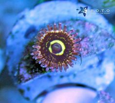 Who's going to snatch the Stratosphere zoa on this weekend's lightning sale at 12pm EST Friday 6/09?  #potolightningsale #lightningsale #poto #piecesoftheocean #zoanthids #polyps #stratosphere #highendcoral #palythoa #allmymoneygoestocoral #reefporn #coralporn #reefaquarium #reefhobby #reefaholic #underwaterlife #underwater