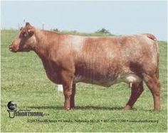 milkingshorthorn - Google Search