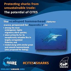 We urge CITES Parties to vote in favor of Proposal #43 to list the scalloped hammerhead shark on CITES Appendix II at CITES CoP16. To download & read our detailed range of factsheets on all shark species up for proposal visit our new coalition website www.cites4sharks.org #CITES4SHARKS