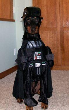 Darth Doberman- my favorite kind of dog in a Star Wars costume = win