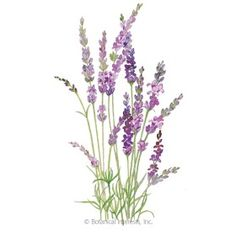 English Tall/Vera Lavender Seeds , View All Flowers: Botanical Interests Home Flowers, All Flowers, Lavender Flowers, Purple Flowers, Colorful Flowers, Dried Flowers, Lavender Seeds, Lavender Garden, Roses Garden