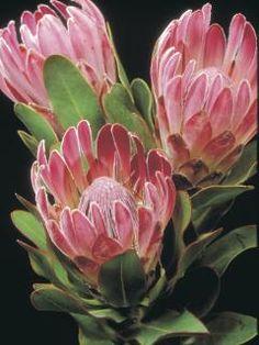 protea at DuckDuckGo Protea Art, Protea Flower, Tropical Flowers, Botanical Flowers, Flowers Nature, Flor Magnolia, Australian Native Flowers, Bridal Flowers, Flower Photos
