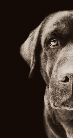 Labrador by Monika Krnacova. Shot on a Nikon Coolpix camera. Proof talent doesnt lie with the equipment but the operator.