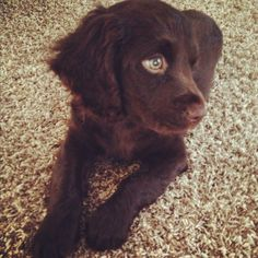 Boykin spaniel puppy - a Boykin is one of the best dogs you could ever have!