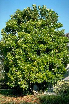 Viburnum odoratissimum var. awabuki: Awabuki Sweet Viburnum -- Figure 1. Mature Viburnum odoratissimum var. awabuki: Awabuki Sweet Viburnum