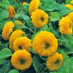 Klisaz Shop (Unique acessories and rare seeds): Jual benih/seeds/bibit teddy bear sunflower, good ...