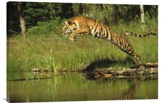 Siberian Tiger Leaping Across River, Asia http://www.explosionluck.com/products/siberian-tiger-leaping-across-river-asia