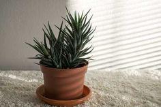 Zebra cactus (Zebra haworthia) Very easy care Indoor Plant Shelves, Indoor Plant Wall, Indoor Plants Low Light, Plants Indoor, Potted Plants, Calathea, Plante Zz, Pothos Plant, Decoration Plante