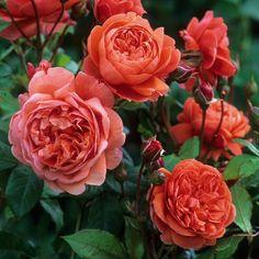 David Austin Rosen, Deadheading Roses, Rose Foto, Rose Care, Summer Songs, Shrub Roses, Growing Roses, Garden Shrubs, Gardening