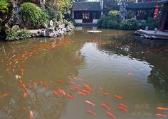 Koi swimming in Japanese pond