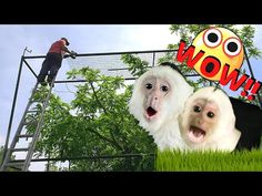 Capuchin Monkey Pet, Pet Monkey, Monkey Cage, Animal Categories, Nikko, Baby Sister, Primates, New Baby Products, The Incredibles