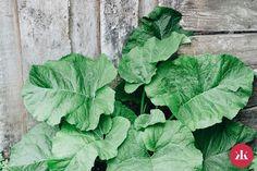 Vodka, Salud Natural, Lettuce, Cabbage, Plant Leaves, Health Fitness, Diy, Plants, Blog