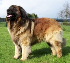 Leonberger dog derived from Newfoundlands and st Bernard's (?) they are renowned for their ability to perform water rescues