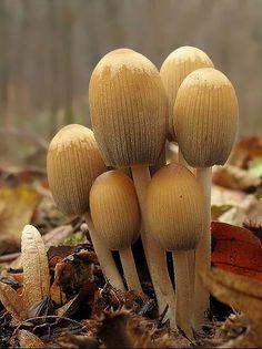 Nahuby.sk - Fotografia - hnojník ligotavý, Hnojník třpytivý Coprinellus micaceus (Bull.) Vilgalys, Hopple & Jacq. Johnson