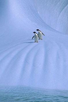 """our-amazing-world: """" Adelie Penguin Amazing World beautiful amazing """""""