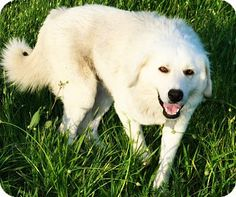 6/8/15 State of Texas, TX - Great Pyrenees Mix. Meet Chico, a dog for adoption. http://www.adoptapet.com/pet/13101093-state-of-texas-texas-great-pyrenees-mix