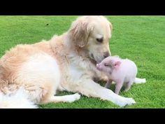 Golden Retriever and Little Piggy Are Best Friends Friends Youtube, Golden Retriever, Two Best Friends, Inspirational Videos, Passed Away, Otters, Cute, Rocks, Animals