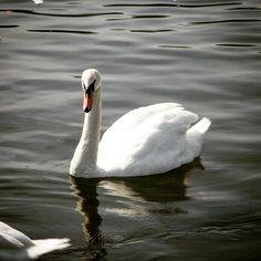 #swan #swanlake #warwick #oldphoto #2010 #water