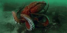 giant pacific octopus | Tumblr