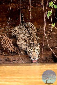 Onça-pintada / Panthera onca
