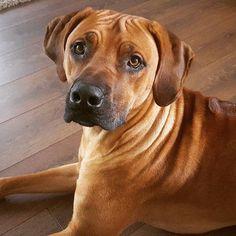 #projectrr #rhodesianridgeback #rhodesianridgebacksofinstagram #dogsoninstagram #dogsofinstagram #bestdog #bestdogpics #handsomedog #wrinkles #ridgie #rr #ilovemydog