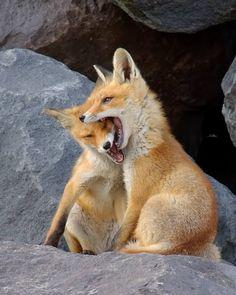 Young foxes by jens_stahl . https://www.bufetout.ru/ - Кейтеринг Тим - Google+