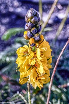 Flor de La Gomera - Canarias