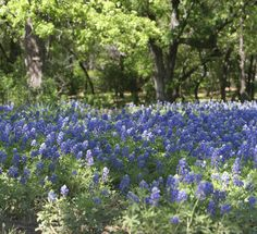 Blue flower field in Texas
