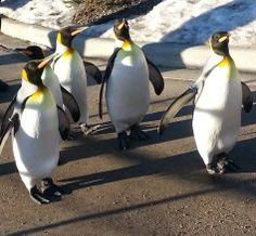 PENGUIN WALK. The popular Penguin Walk has resumed at the Calgary Zoo happening daily at 10:00 am.